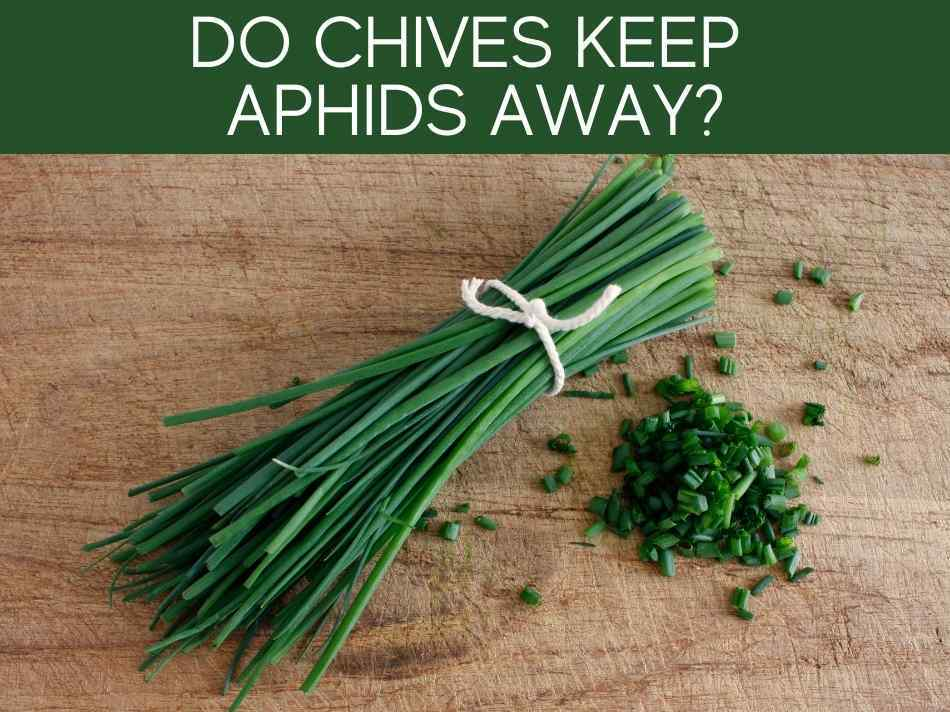 Do Chives Keep Aphids Away?