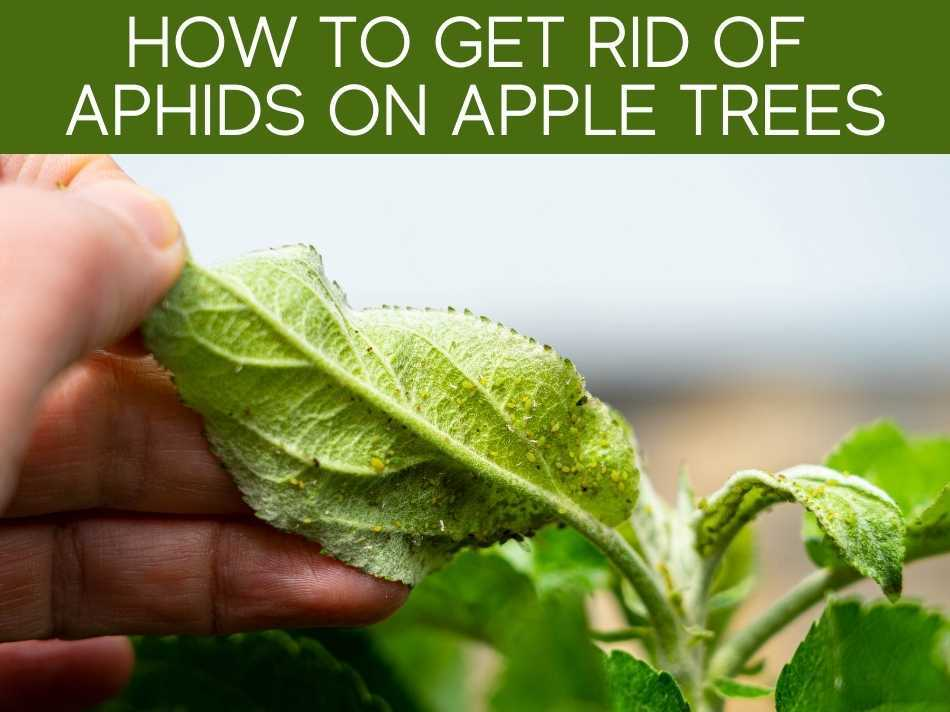 How To Get Rid Of Aphids On Apple Trees