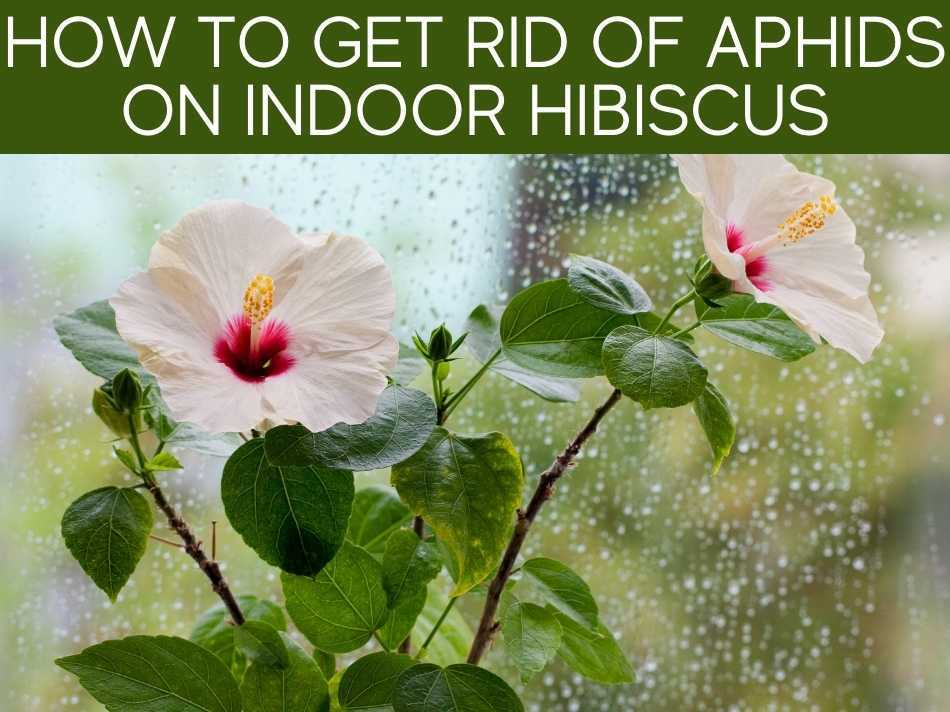 How To Get Rid Of Aphids On Indoor Hibiscus