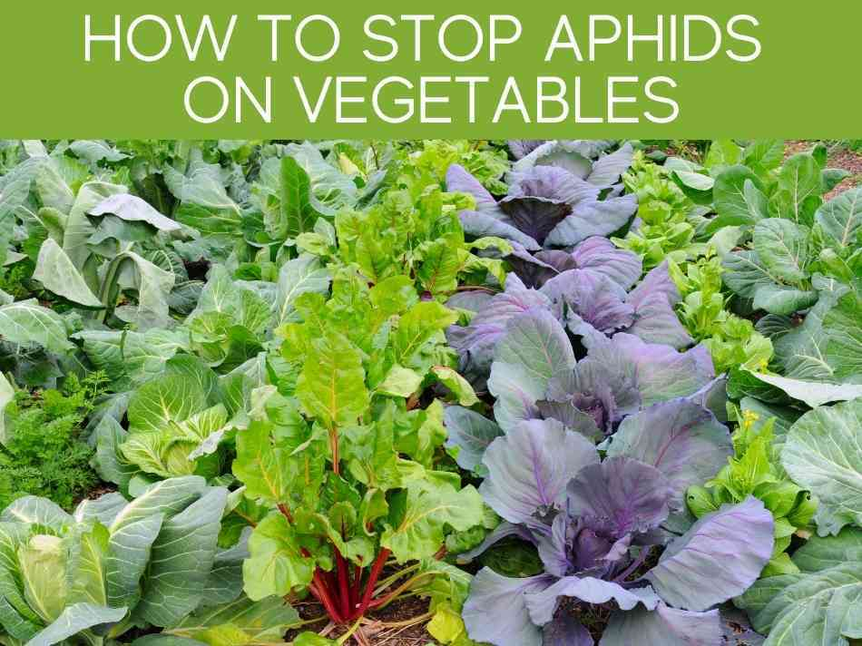 How To Stop Aphids On Vegetables
