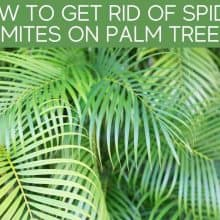 How To Get Rid Of Spider Mites On Palm Tree