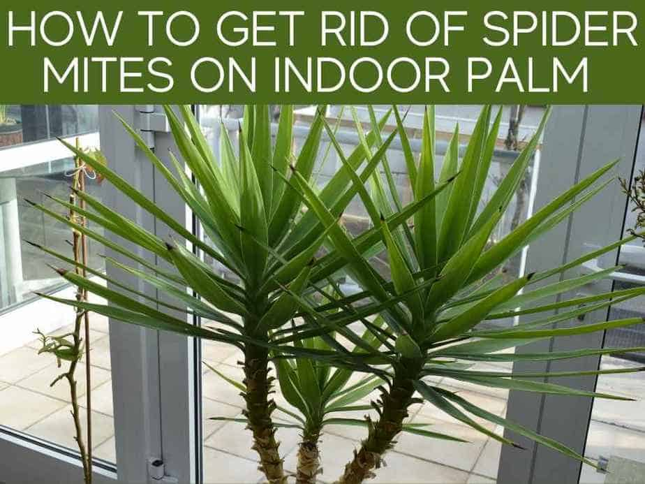 How To Get Rid Of Spider Mites On Indoor Palm