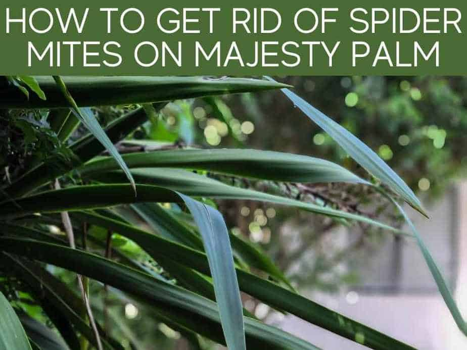 How To Get Rid Of Spider Mites On Majesty Palm
